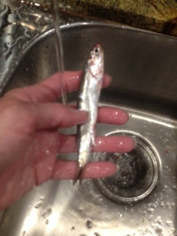 Rinsing Anchovy, a big one